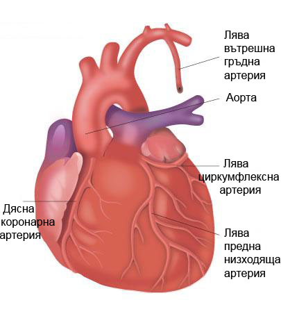 Как се кръвоснабдява сърцето