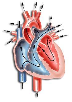 Сърдечните клапи