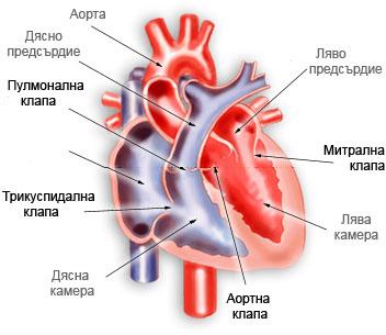 Сърдечно кръвообращение